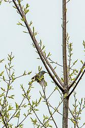 Blue-grey Gnatcatcher (Polioptila caerulea)