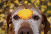 SHOT 10/2/16 4:40:56 PM - Tanner, a 12 year-old male Vizsla, poses with an aspen leaf on his forehead during a fall foliage trip to Crested Butte, Co. Changing aspens and the Raggeds Wilderness along Kebler Pass just outside of Crested Butte, Co. Kebler Pass (el. 10,007 ft.) is a high mountain pass in Colorado. Populus tremuloides is a deciduous tree native to cooler areas of North America, one of several species referred to by the common name aspen. It is commonly called quaking aspen,trembling aspen or American aspen. The trees have tall trunks, up to 25 meters (82 feet) tall, with smooth pale bark, scarred with black. The glossy green leaves, dull beneath, become golden to yellow, rarely red, in autumn. The species often propagates through its roots to form large groves originating from a shared system of rhizomes. (Photo by Marc Piscotty / © 2016)