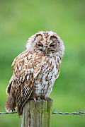 Tawny owl - Strix aluco - also known as brown owl, roosting on a wooden fence post in England
