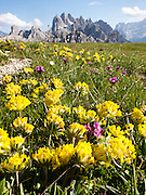 """Yellow flowers bloom, and peaks of the Cadini Group rise in the Dolomites mountain range (Dolomiti), Italy, Europe. Hike for spectacular views around Tre Cime di Lavaredo (Italian for """"Three Peaks of Lavaredo,"""" also called Drei Zinnen or """"Three Merlons"""" in German). Until 1919 the peaks formed part of the border between Italy and Austria. Now they lie on the border between the Italian provinces of South Tyrol and Belluno and still are a part of the linguistic boundary between German-speaking and Italian-speaking majorities. The Dolomites were declared a natural World Heritage Site (2009) by UNESCO."""