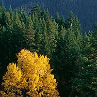 A fall-colored aspen grows between conifers near Sourdough Canyon.
