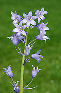 Hybrid Spanish Bluebell  Hyacinthoides non-scripta x hispanicus is more popular in gardens, and more widely naturalised, than Spanish Bluebell. Confusingly, plants show a spectrum of characters intermediate between the two parents.