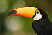 Toco Toucan<br />Ramphastos toco<br />Pantanal. BRAZIL.  South America<br />RANGE: Guianas, Brazil. Paraguay, Bolivia & Argentina