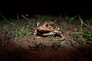 Common toad (Bufo bufo) on spring migration to breeding pond. Surrey, UK.