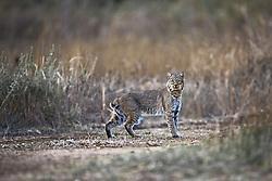 Bobcat, Trinity River Audubon Center, Dallas, Texas, USA.