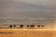 A group of ostriches (Struthio camelus) running over the gravel plains of the SkeletonCoast in warm evening light, Skeleton Coast, Namibia, Africa