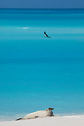 Hawaiian monk seal, Monachus schauinslandi, Critically Endangered Species, Sand Island, Midway, Atoll, Midway Atoll National Wildlife Refuge, Papahanaumokuakea Marine National Monument, Northwest Hawaiian Islands ( Central North Pacific Ocean )