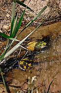 A pair of spring frogs in a muddy puddle with green leaves.