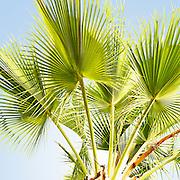 Southern California Palm