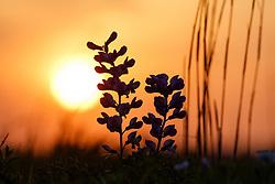 Wild indigo wildflowers, Blackland Prairie, High Point Park and Wildflower Preserve, Farmersville, Texas, USA.