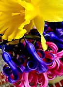 Spring Flowers, daffodil and hyacinth