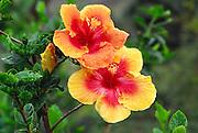 Hibicus flower<br />