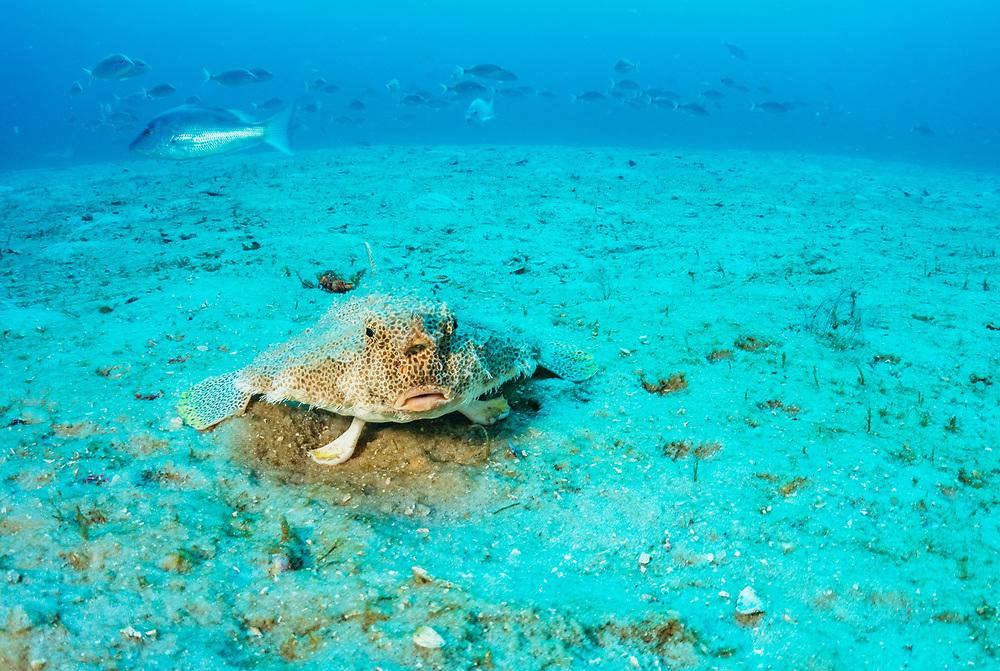 A shortnose batfish (Ogcocephalus nasutus) walking on the seabed off Florida's Gulf of Mexico.
