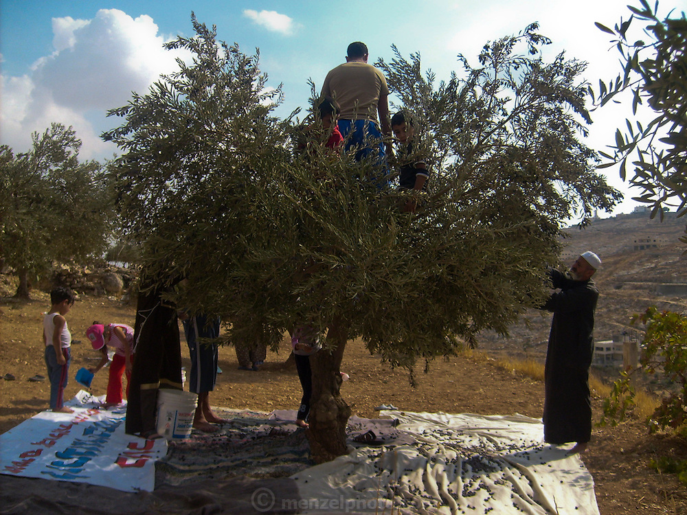 Abdul-Baset Razem, a Palestinian guide and driver, with his family in his backyard harvesting olives from one of their trees in a Palestinean village in East Jerusalem.  (Abdul-Baset Razem is featured in the book What I Eat: Around the World in 80 Diets.)