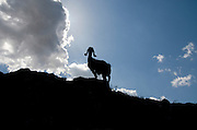 Silhouette of a goat on blue sky background