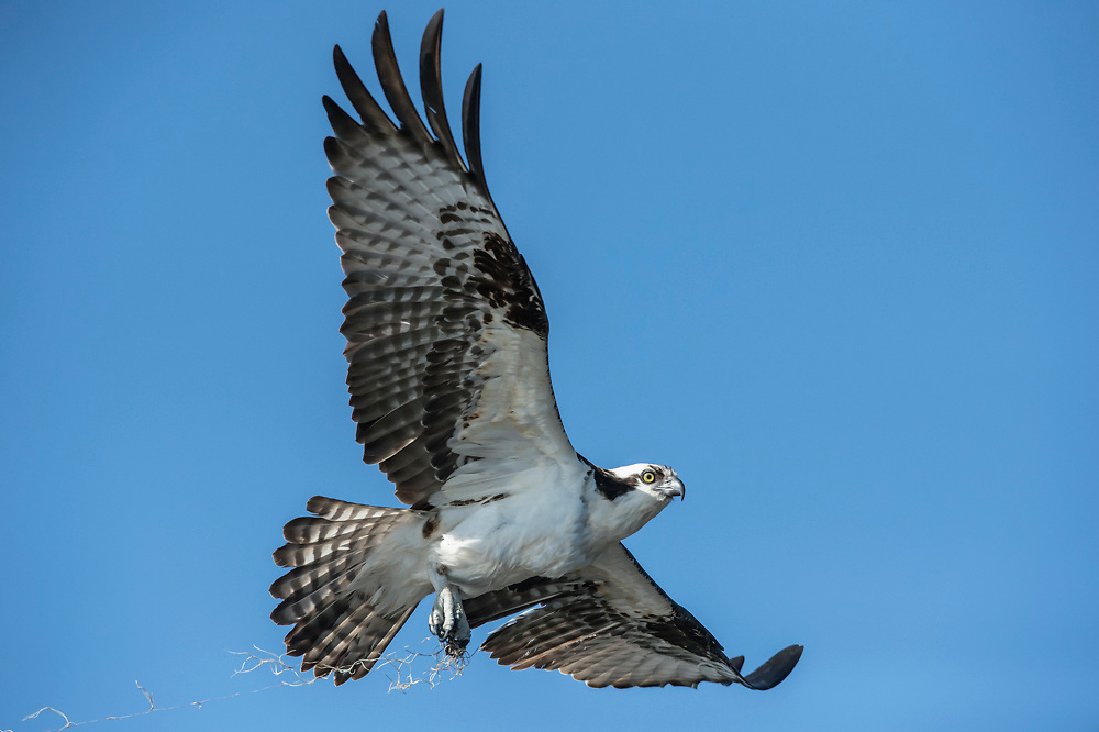 An Osprey, Pandion haliaetus, takes flight over Blue Cypress Lake, located in Indian River County, Florida, United States.