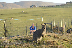 EXCLUSIVE: An Australian man has created his own Outback outpost 11,000 miles from home on the Shetland Islands – and he even has WALLABIES. Tasmanian Dave Kok, 42, has built his own Aussie oasis on the Scottish archipelago after deciding to settle there when he was travelling Europe. Now Dave lives with his Shetland native wife Louise, 38, and two daughters Caitlin, 11, and Ruby, aged four. Social care worker Dave came to the islands in the late 90s and since 2016 has been building his own watering hole choc-full of Australiana on the island of Burra. Dave's place 'The Outpost' is a renovated wooden porta cabin filled with Tasmanian beers, Tim Tams, books on bush craft and Aussie Rules sporting memorabilia. Locals use the Outpost as their local bar and meeting place, as the nearest pub or café is three bridges and three islands away. And visitors can now enjoy the Outpost's wallabies Ned and Kelly who David brought to the island this winter. Based on the Shetland Islands latitude the marsupials could be the most northerly of their species anywhere on the planet. Dave said visiting Australians are often surprised to find the antipodean paradise in such a remote location. 16 Feb 2018 Pictured: Pic from Dave Donaldson/ Magnus News Agency. Pic shows David Kok in the background with wallaby Ned in the foreground against a backdrop of the Shetland countryside. An Australian man has created his own Outback outpost 11,000 miles from home on the Shetland Islands – and he even has WALLABIES. Tasmanian David Kok, 42, has built his own Aussie oasis on the Scottish archipelago after deciding to settle there when he was travelling Europe. Now David lives with his Shetland native wife Louise and two daughters Caitlin, 11, and Ruby, aged four. Social care worker David came to the islands in the late 90s and has built his own watering hole choc-full of Australiana on the island of Burra. David's place 'The Outpost' is a renovated wooden porta cabin filled with Ta