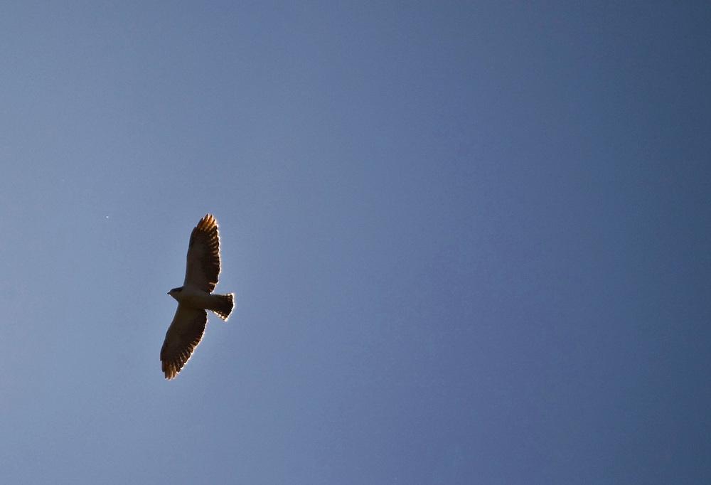 Pocos de Caldas_MG, Brasil...Ave de rapina voando em Pocos de Caldas...The bird of prey flying over the Pocos de Caldas...Foto: JOAO MARCOS ROSA /  NITRO