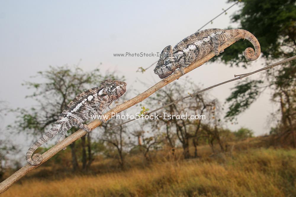 Globe-horned Chameleon (Calumma globifer) Photographed in Madagascar