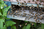 Bees coming and going in a hive in a community garden in South London. Keeping bees is a growing hobby in London and the hives and apiaries can be found in back gardens and roof tops across the capital. Keeping bees is a growing hobby in London and the hives and apiaries can be found in back gardens and roof tops across the capital.