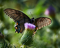 Dark morph of an Eastern Tiger Swallowtail butterfly. Image taken with a Nikon N1V3 camera and 70-300 mm VR lens