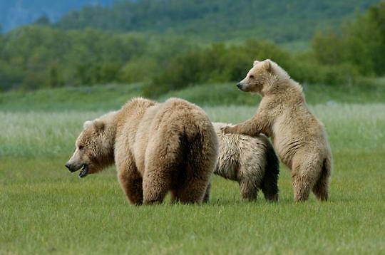 Alaskan Brown Bear, (Ursus middendorffi) Mother and cubs . Katmai National Park. Alaska.