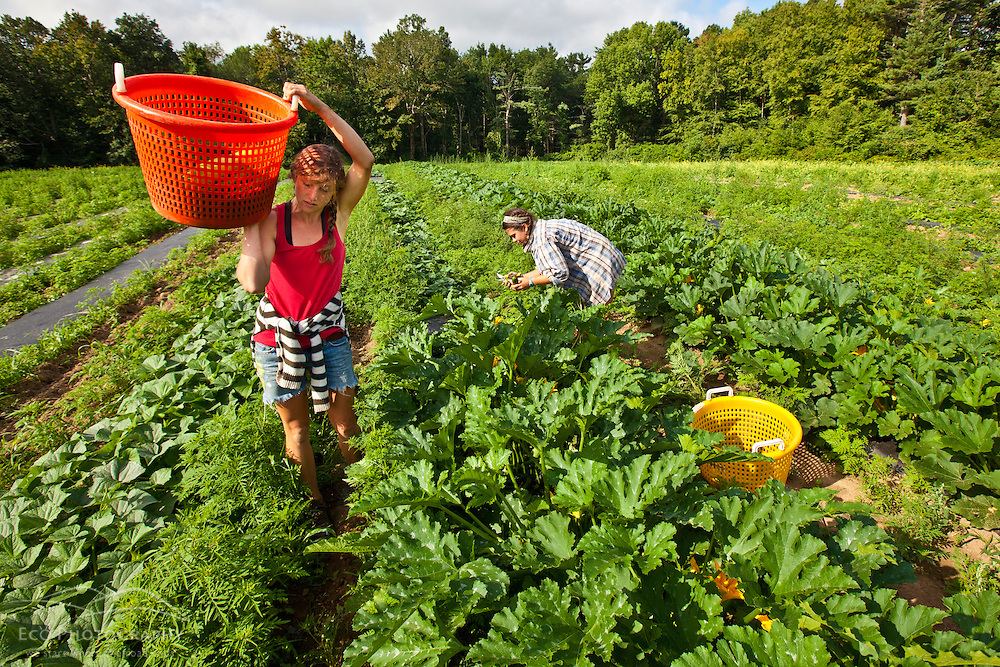 Farm workers harvest zucchini at Heron Pond Farm in South Hampton, New Hampshire.