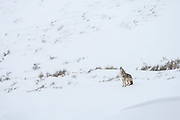 Coyote (Canis latrans)howling during winter