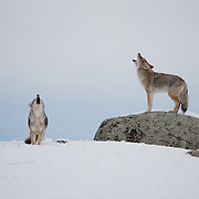 Coyote (Canis latrans) mating pair howling. Yellowstone National Park, Montana