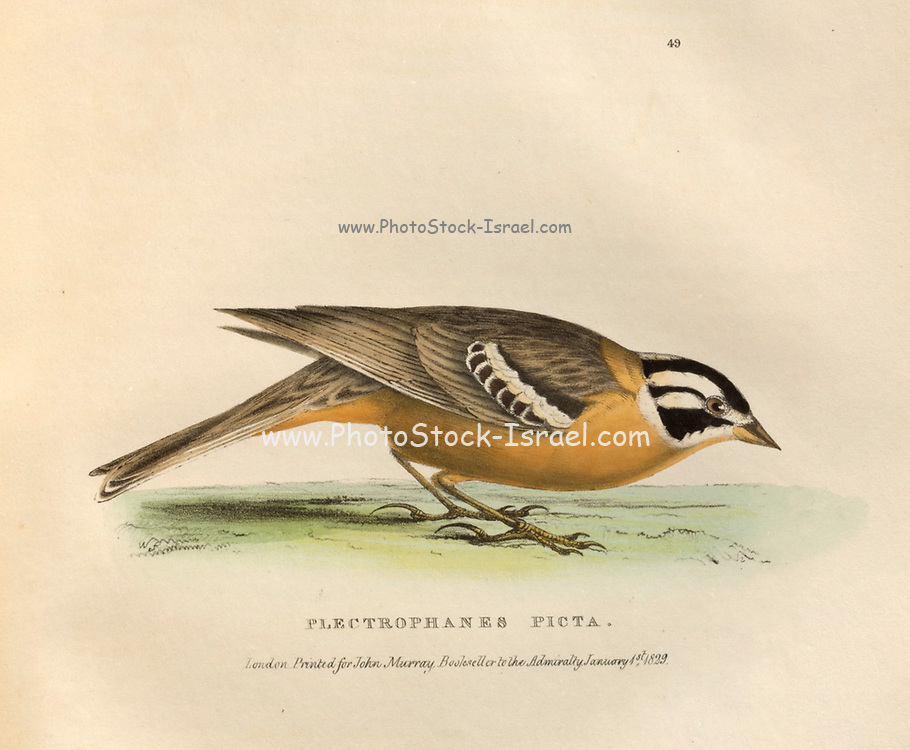 Plectrophanes Picta color plate of North American birds from Fauna boreali-americana; or, The zoology of the northern parts of British America, containing descriptions of the objects of natural history collected on the late northern land expeditions under command of Capt. Sir John Franklin by Richardson, John, Sir, 1787-1865 Published 1829