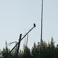 A Bald Eagle (Haliaeetus leucocephalus) perches in a tree killed by the 1988 forest fires in Yellowstone National Park, Wyoming.
