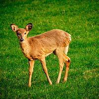 20200330-deer