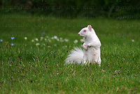 White Albino squirrel, Surrey, England. Photographed by Jayne Fincher