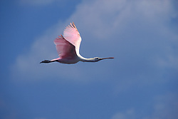 Roseate spoonbill (platalea ajaja) in flight
