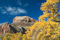 Cottonwood trees displaying brilliant autumn foliage along Indian Creek Canyon Utah