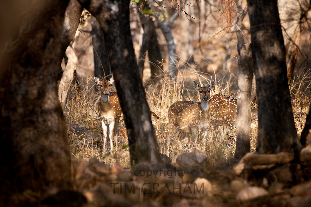 Spotted deer, Axis axis, (Chital) and fawn in Ranthambhore National Park, Rajasthan, Northern India