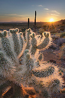 Teddy Bear Cholla cactus (Cylindropuntia bigelovii) illuminated by the setting sun, Superstition Mountains Arizona
