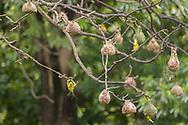 Eastern golden weaver-Tisserin jaune<br /> (Ploceus subaureus), Hluhluwe-Umfolozi parc, Kwazulu-Natal, South Africa.