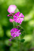Spring-flowering wildflower Red Campion, Silene dioica, blooming in a country garden in the UK