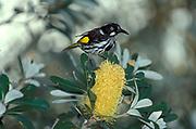 New Holland Honeyeater, Phylidonyris novaehollandiae, on flower taking nectar, New Zealand, yellow black and white
