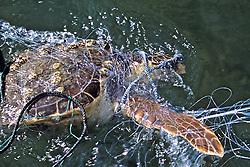 Green Turtle In Net