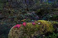 Autumn cloud forest scene, near Mount Bawu Bameng in the Meili Snow Mountain National park, Yunnan China.