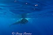 Bryde's whale, Balaenoptera brydei or Balaenoptera edeni, feeding on baitball of sardines, Sardinops sagax, off Baja California, Mexico ( Eastern Pacific Ocean ), #1 in sequence of 6