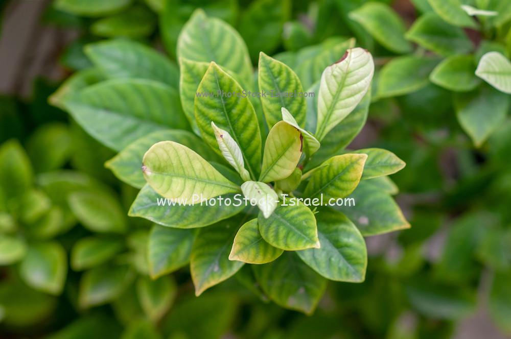 Gardenia plant (Gardenia jasminoides) with light green leaves showing signs of Chlorosis (iron deficiency).  Loss of colour in leaf showing a mineral deficiency or inability of plant to take up mineral from soil.
