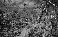 Ahead on the Skerwink Trail through a coastal Tuckamore forest on the Bonavista peninsula Newfoundland, Canada.