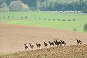 Rothirsch (Cervus elaphus) im Tal der Hirsche