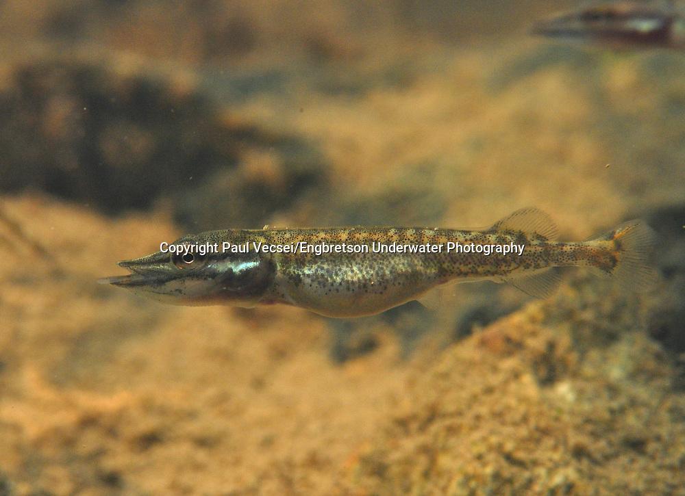 Northern Pike (newborn)<br /> <br /> Paul Vecsei/Engbretson Underwater Photography