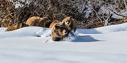 Trail breaking for the kids, Grizzly 399 on her way to her winter den.  It is crazy to think her found cubs are only ll months old here.<br /> <br /> Contact for custom print options or inquiries about stock usage  - dh@theholepicture.com<br /> <br /> Contact for custom prints