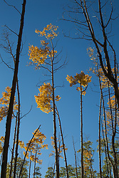Aspen Trees during the Autumn in Santa Fe, NM