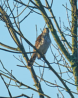 Cooper's Hawk. Image taken with a Leica SL2 camera and Sigma 150-600 mm sport lens.
